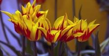 XIX Wystawa Tulipanów 2015