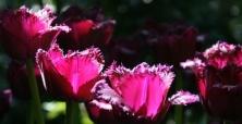 XVII Wystawa Tulipanów
