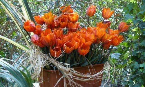 XII Wystawa Tulipanów