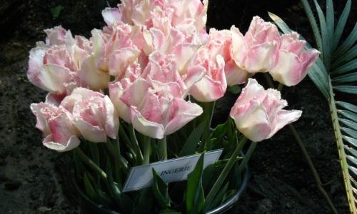 XV Wystawa Tulipanów