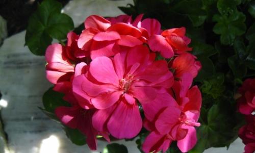 II Wystawa Kwiatów Rabatowo-Balkonowych
