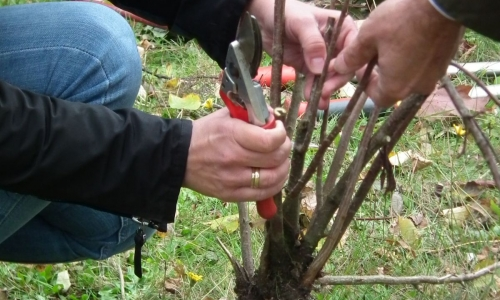 Zasady Cięcia Drzew i Krzewów Ozdobnych