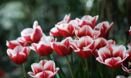 XIX Wystawa Tulipanów