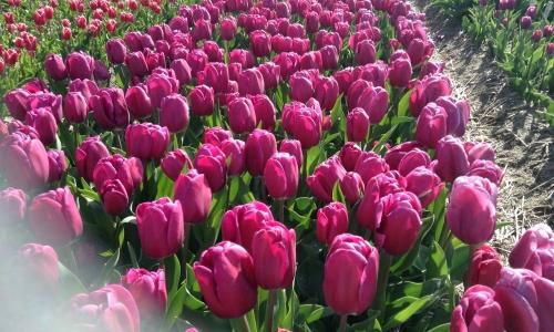 Chrzest Tulipana 'Hipolit Cegielski'
