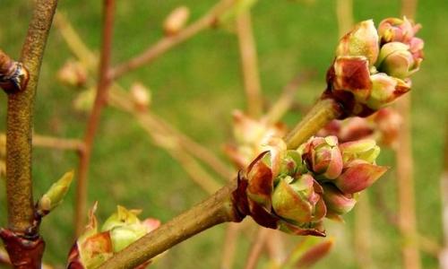 Rozpoznawanie taksonów drzew i krzewów w stanie bezlistnym.